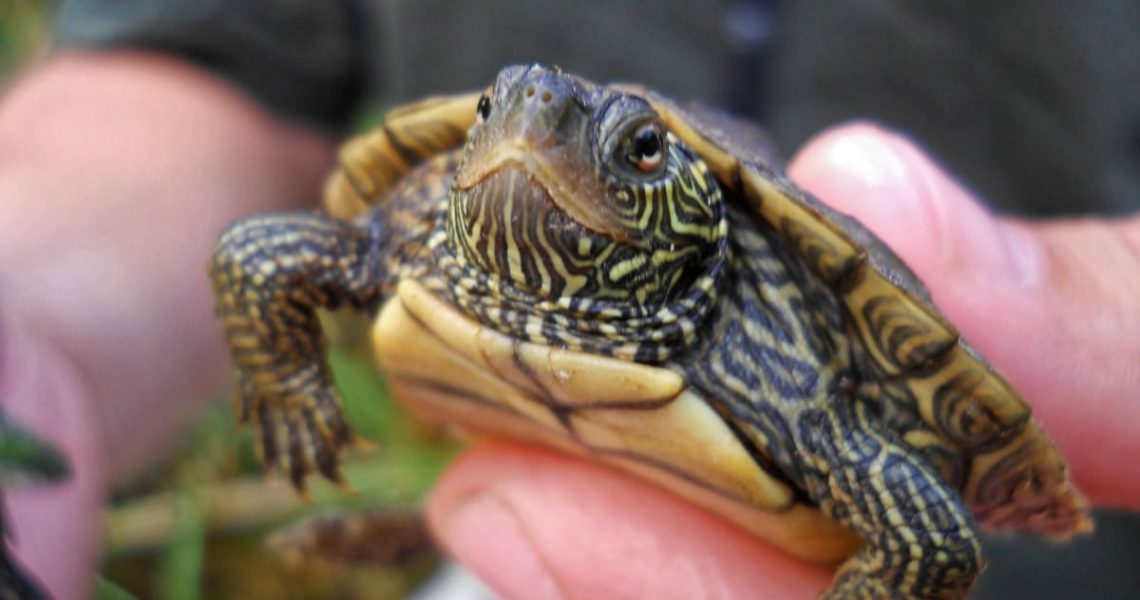Ten Ways To Prevent Box Turtle Gender Burnout
